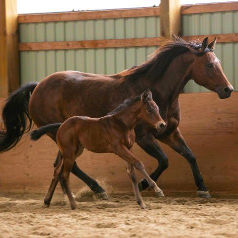 broodmare and foal running